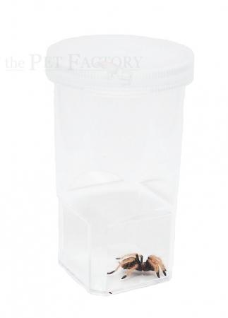 Spiderling Box 20er