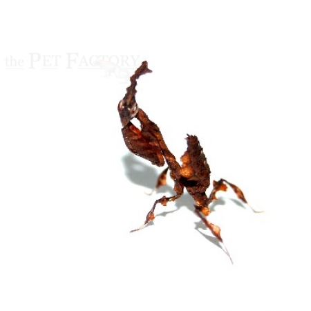 Phyllocrania paradoxa adult/semiadult