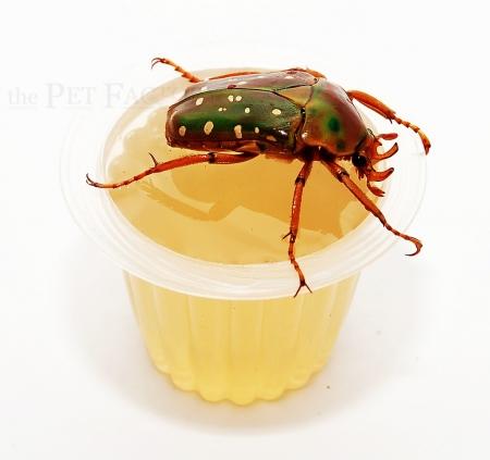 Beetle Jelly HP Honig 15er Pack