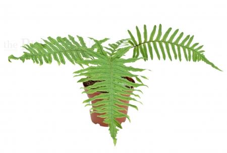 Polypodium formosanum