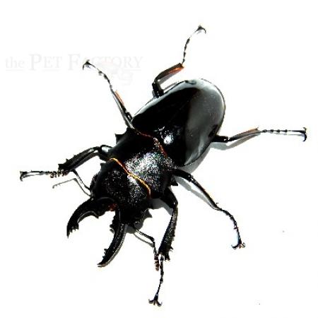 Odontolabis bellicosa