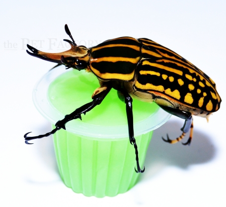 Beetle Jelly HP Melone