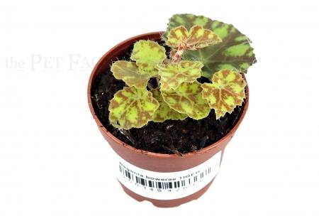 Begonia bowerae TIGER