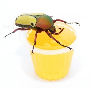 Beetle Jelly HP Orange 15er Pack
