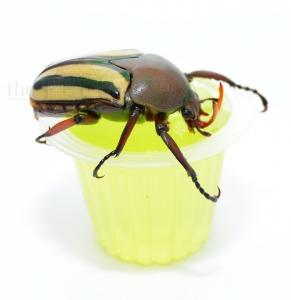 Beetle Jelly HP Apfel 100er Pack