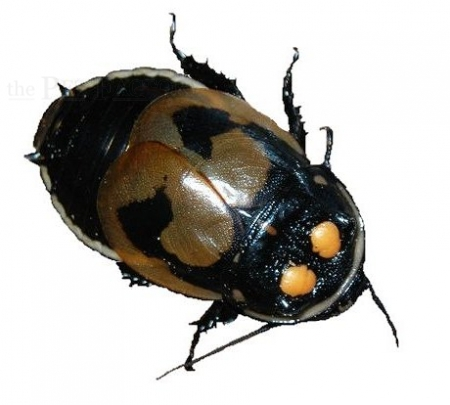 Lucihormetica verrucosa ZUCHTANSATZ