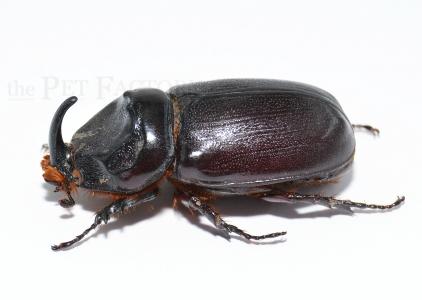 Oryctes owariensis