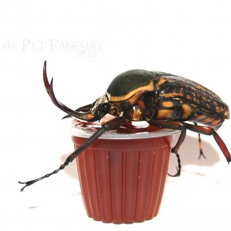 Beetle Jelly HP Black Sugar 100er Pack