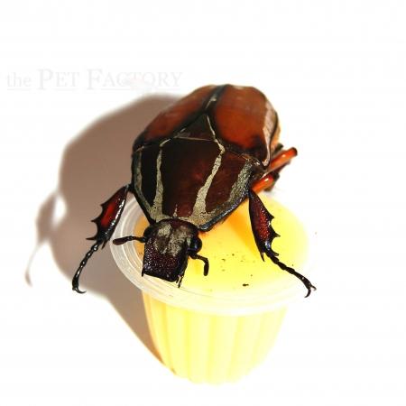 Beetle Jelly HP Banane 350er Karton