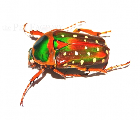 Stephanorrhina guttata aschantica