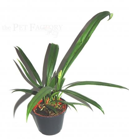 Anthurium gracilis