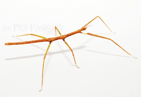 Medauroidea extradentata