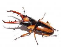 Prosopocoilus savagei XXL