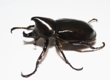 Xylotrupes beckeri