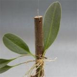 Pleurothallis nivacularis