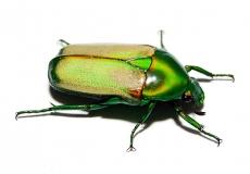 Chlorocala smaragdina Imago