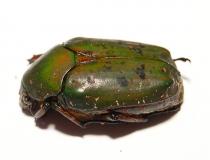 Pseudinca camerunensis