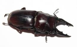 Prosopocoilus senegalensis