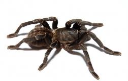 Haplopelma longipes XL