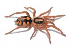 Hapalopus spec. KOLUMBIEN (grosse Form) L