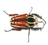 Mecynorrhina torquata ugandensis FARBMORPHE Larve