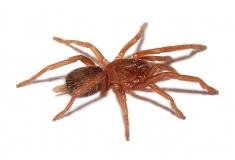 Orphnaecus spec Negro m