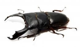 Dorcus titanus titanus SULAWESI