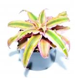 Cryptanthus rot