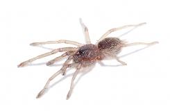 Chilobrachys sp. Kaeng Krachan s