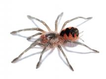 Pamphobeteus spec. MACHALA s