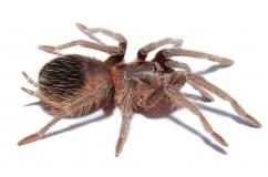 Lampropelma spec. Borneo Black m