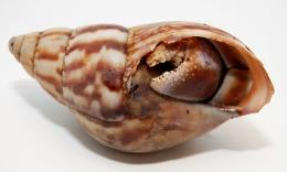 Coenobita violascens L