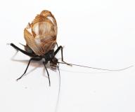 Homoeogryllus xanthographus - Singgrille
