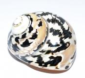 Schneckenhaus - Checker Snail