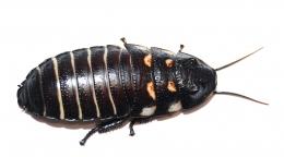 Gromphadorrhina oblongonata