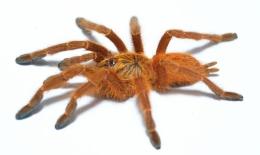 Pterinochilus murinus RCF m