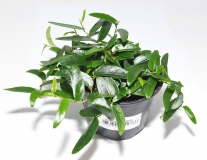 Ficus spec. PANAMA