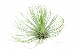 Tillandsia andreana BIG FORM