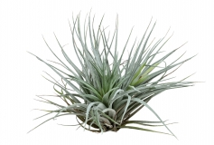Tillandsia spec. COTTON CANDY PURPLE