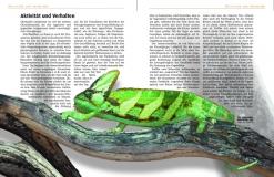 Chamaeleo calyptratus - Das Jemen-Chamäleon