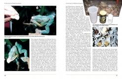 Furcifer pardalis - Das Pantherchamäleon