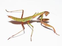 Polyspilota aeruginosa - Madagaskar
