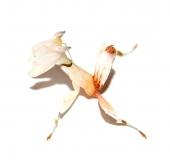 Hymenopus coronatus - Männchen L