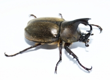 Xylotrupes pubescens
