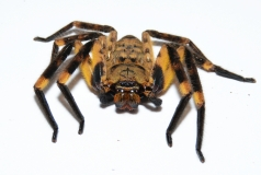 Barylestis scutatus
