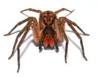 Ctenidae spec. CAMEROON RED FANG