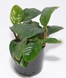 Anubias b. coffeefolia