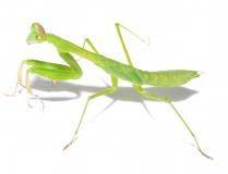 Polyspilota aeruginosa - Kamerun