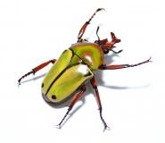 Coelorrhina loricata Imago
