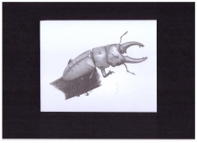 Kunstdruck Prosopocoilus occipitalis